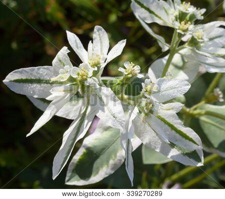 Euphorbia Marginata (snow-on-the-mountain, Smoke-on-the-prairie, Variegated Spurge, Whitemargined Sp