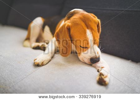 Beagle Dog Biting His Itching Skin On Legs. Skin Problem Allergy Reaction Or Stress Reaction Concept