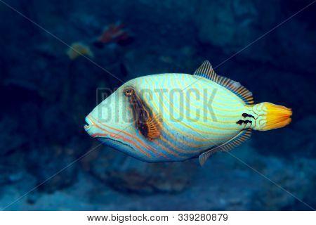 Tropical Fish Orange-lined Triggerfish (balistapus Undulatus) At Coral Reef In Seawater
