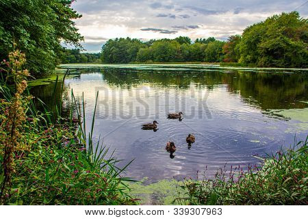 Family Of Ducks Floating On Pond By The Wayside Inn Grist Mill In Sudbury, Ma