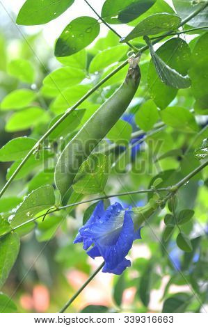 Butterfly Pea (clitoria Ternatea) Flower And Pod From Central Of Thailand