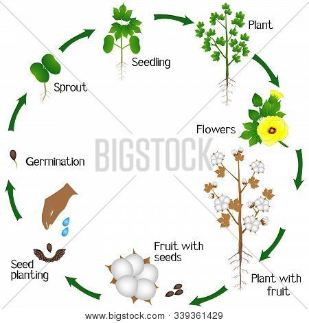 Cycle Of A Cotton Plant Growth Isolated On White Background.