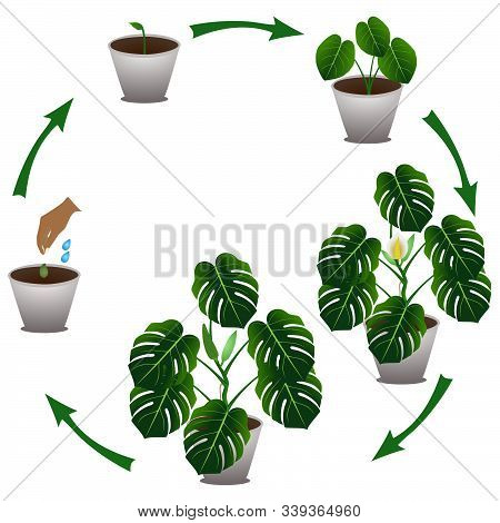 Cycle Of Growth Houseplant Of A Monstera Or Split-leaf Philodendron (monstera Deliciosa) On White Ba