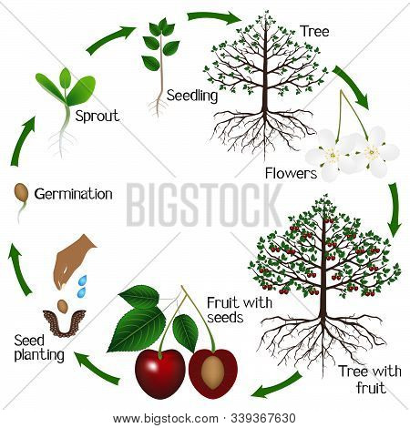 Cycle Of Growth Of A Cherry Tree On A White Background.