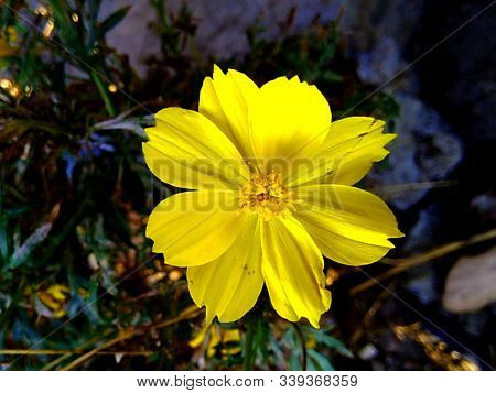 The Beautiful Sulfur Cosmos Is In Bloom, Petals, Anthers, Stamens, Pistil, Pistil Stems All Colored