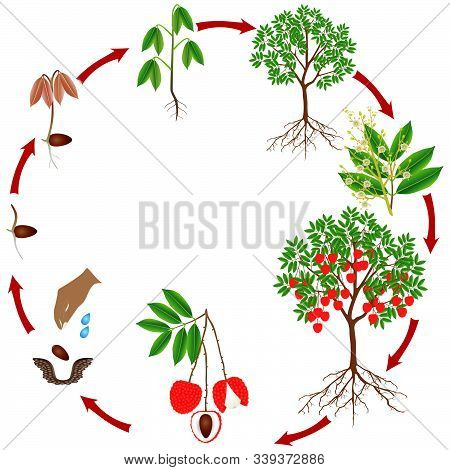 Cycle Of Growth Of A Lychee Tree On A White Background.