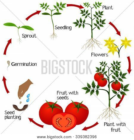 Cycle Of Growth Of A Tomato Plant On A White Background.