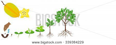 Cycle Of Growth Of Carambola Plant On A White Background.