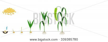 Cycle Of Growth Of Foxtail Millet Plant On A White Background.