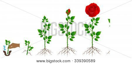 Cycle Of Red Rose Plant Growth, Isolated On White Background.