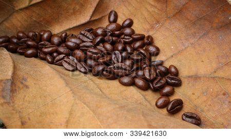 Fresh Coffee Beans On Brown Teak Leaves, Texture Of Striped Teak Leaves