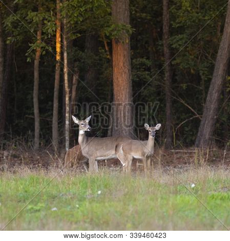Two Whitetail Yearlings With Their Doe Near Raeford North Carolina