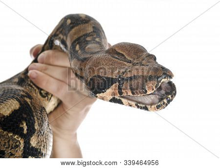 Boa Imperator In Front Of White Background