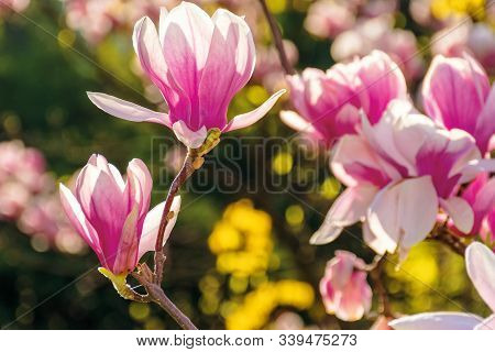 Pink Blossom Of Magnolia Tree. Big Flowers On The Twig On A Sunny Day. Garden Nature Background. Hap