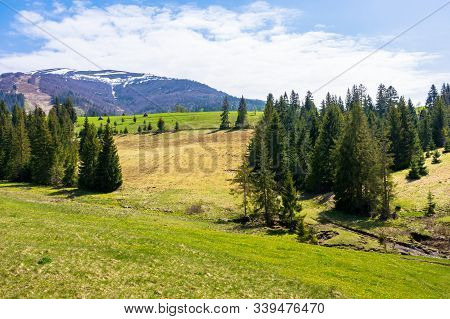 Carpathian Countryside Springtime. Coniferous Trees On The Grass Covered Rolling Hills. Mountain Wit