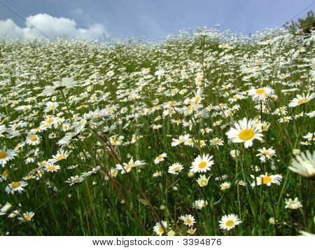 Sea Of Daisies Against A Blue Sky