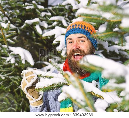 Macho With Beard And Mustache Hiding Between Firtrees Branches.