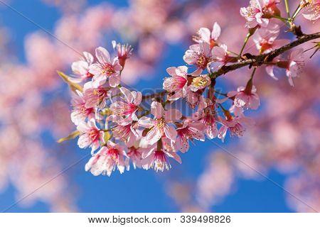 Closeup Of Wild Himalayan Cherry (prunus Cerasoides) Or Thai Sakura Flower In Field At Winter Or Spr