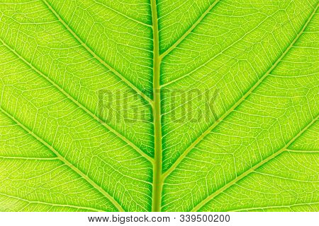 Natural Green Leaf Background With Light Behind For Graphic Design. Leaf Nature Background. Nature B
