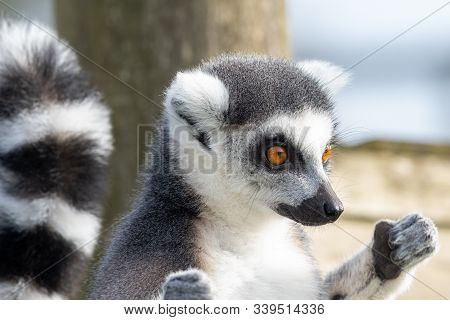 Close Up Portrait Of A Ring Tailed Lemur (lemur Catta) Sunbathing.