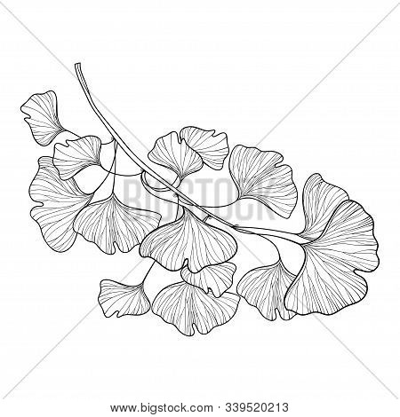 Vector Branch With Outline Gingko Or Ginkgo Biloba Tree. Bunch With Ornate Leaf In Black Isolated On