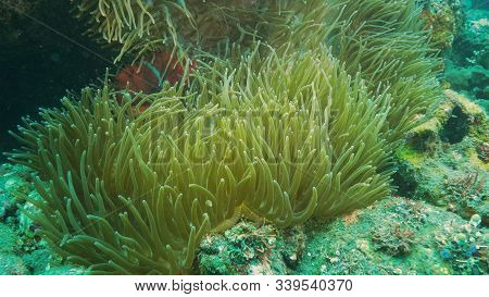Maroon Clownfish In Its Host Anenome Near The Liberty Wreck In Tulamben, Bali