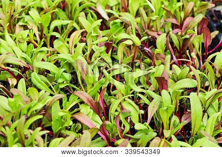 Closeup Of Colorful Swiss Chard Microgreens Sprouting
