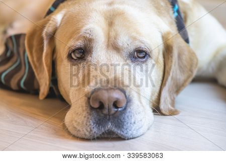 Cute White Labrador Retriever Dog Is Lying On The Floor At Home
