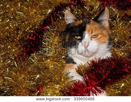 Beautiful calico cat in the middle of gold and red tinsel