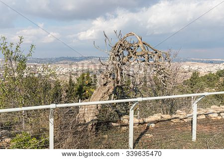 Jerusalem, Israel, December 07, 2019 : An Old Dry Olive Tree Stands In The Territoryof The Tomb Of T