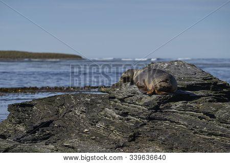 Female Southern Sea Lion (otaria Flavescens) On The Coast Of Sea Lion Island In The Falkland Islands