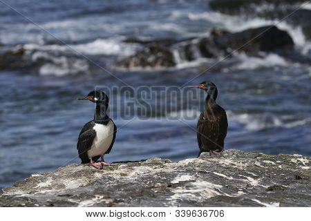 Rock Shag (phalacrocorax Magellanicus) Standing On The Cliffs Of Sea Lion Island In The Falkland Isl
