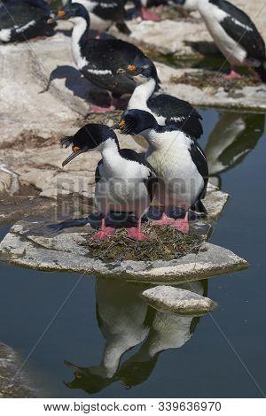 Imperial Shag (phalacrocorax Atriceps Albiventer) Nesting On Sea Lion Island In The Falkland Islands