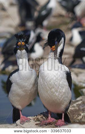 Pair Of Imperial Shag (phalacrocorax Atriceps Albiventer) During Breeding Season On Sea Lion Island