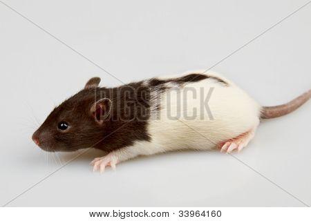 Brattleboro laboratory rat isolated on grey background poster