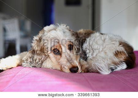 Sweet Adorable Sable Roan Coker Spaniel Taking A Nap