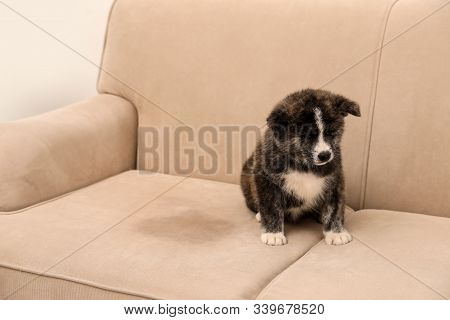 Cute Akita Inu Puppy Near Wet Spot On Sofa Indoors. Untrained Dog