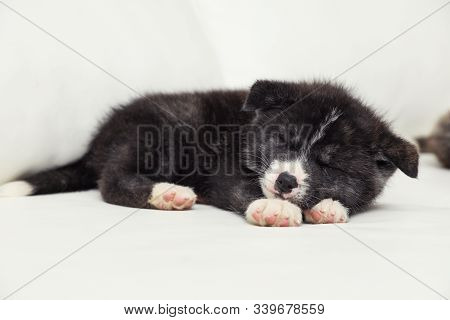 Akita Inu Puppy Sleeping On Sofa. Cute Dog
