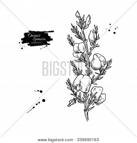 Ononis Spinosa Vector Drawing. Isolated Medical Flower And Leaves.