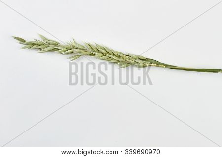 Unripe Oat Spike On White Background. Green Oat Spike And Copy Space. Agriculture Concept.