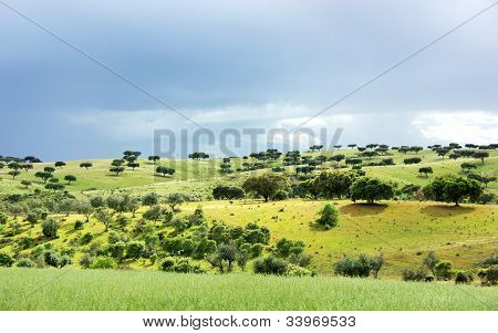 Mediterranean Forest Of Oak Trees