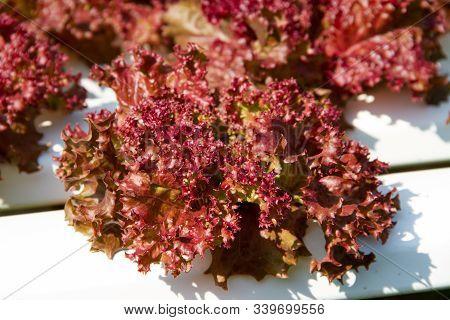 Red Coral Lettuce Grown In A Hydroponic System