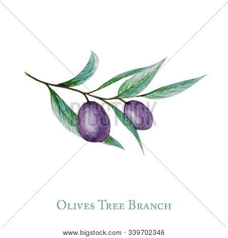 Watercolor Black Olive Tree Branch Leaves Fruits, Realistic Olives Botanical Illustration Isolated O