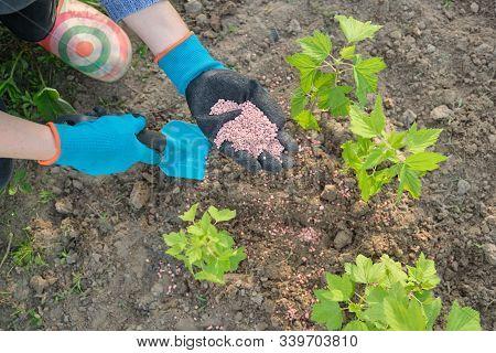 Granules Fertilizer In Hands Of Woman Gardener. Spring Work In Garden, Fertilizing Plants, Blackcurr
