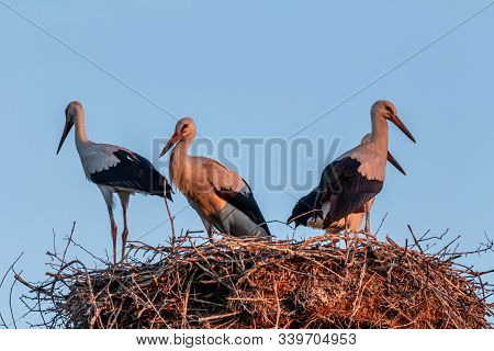 White Stork, Ciconia Ciconia, Large Bird, Stork Family Ciconiidae. Its Plumage Is Mainly White, With