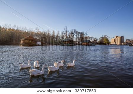 Group Of White Ducks Swimming On The River Tamis Reka In The City Center Of Pancevo, One Of The Bigg