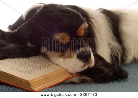 Cocker Spaniel Sleeping With Book