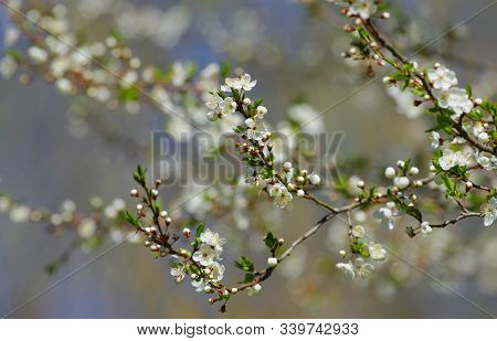 Spring Plums Blossom In Estonia During The Spring