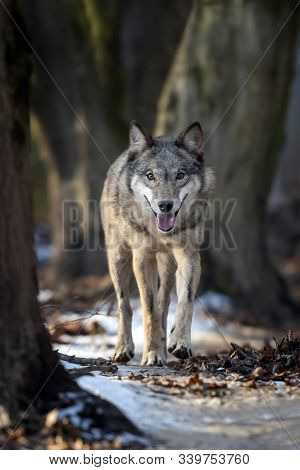Close Alone Timber Wolf Standing In The Winter