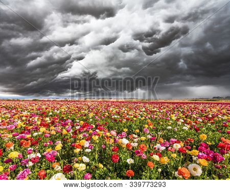 Spring day. Stormy clouds over a field of flowering garden buttercups. Kibbutz in the south of Israel. Easter week
